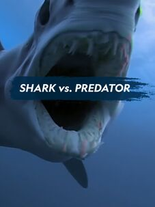 Shark vs. Predator
