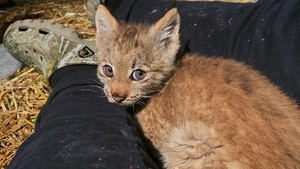 Lynx Be a Lady