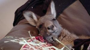 Kangaroo Comeback